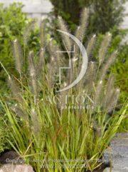 botanic stock photo Pennisetum