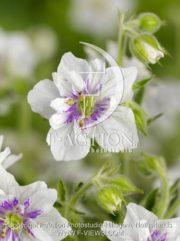 botanic stock photo Geranium