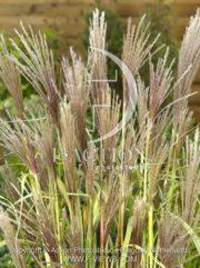 botanic stock photo Miscanthus
