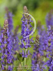 botanic stock photo Salvia