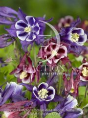 botanic stock photo Aquilegia