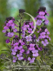botanic stock photo Erysimum