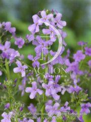 botanic stock photo Hesperis