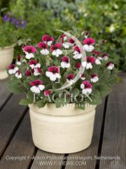 botanic stock photo Pelargonium