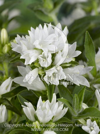 botanic stock photo Campanula