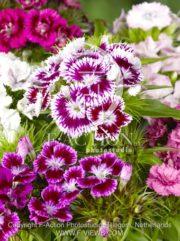 botanic stock photo Dianthus
