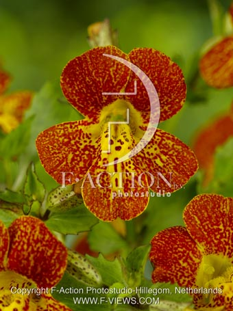 botanic stock photo Mimulus