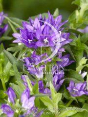 botanic stock photo Campanulata