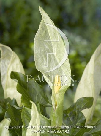 botanic stock photo Arum