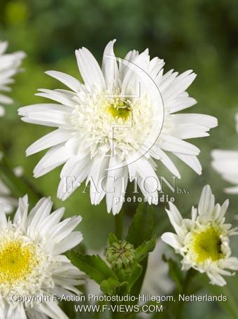 botanic stock photo Leucanthemum