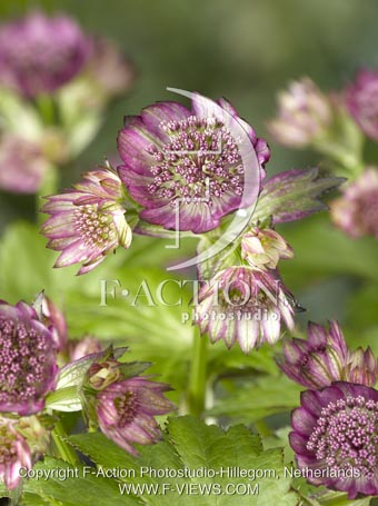 botanic stock photo Astrantia