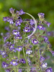 botanic stock photo Chaenorhinum