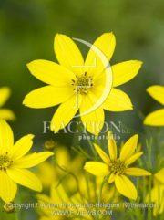 botanic stock photo Coreopsis