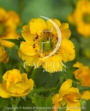 botanic stock photo Geum