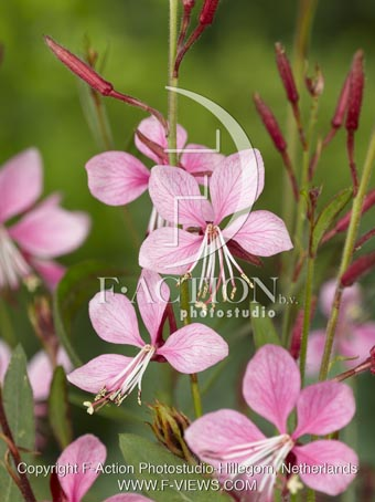 botanic stock photo Gaura