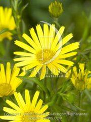 botanic stock photo Buphthalmum