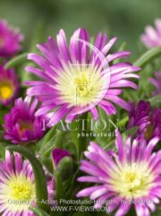 botanic stock photo Delosperma