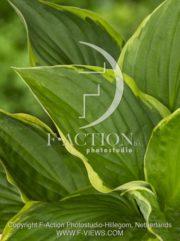 botanic stock photo Hosta