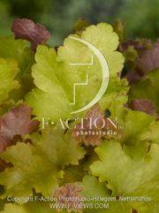 botanic stock photo Heuchera