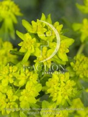 botanic stock photo Euphorbia
