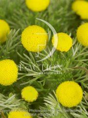 botanic stock photo Cotula