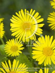 botanic stock photo Doronicum