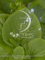 botanic stock photo Brunnera