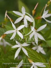 botanic stock photo Gillenia