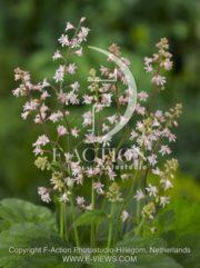 botanic stock photo Heucherella