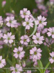 botanic stock photo Gypsophila