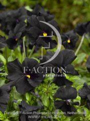 botanic stock photo Viola