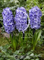 botanic stock photo Hyacinthus