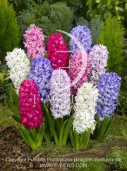 botanic stock photo Hyacinthus