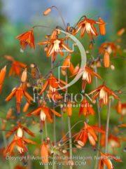 botanic stock photo Bessera