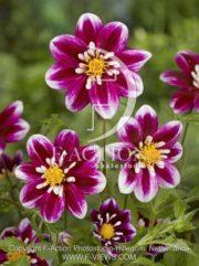 botanic stock photo Dahlia