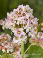 botanic stock photo Bergenia