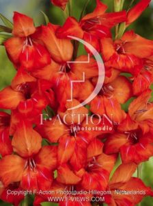 botanic stock photo Gladiolus