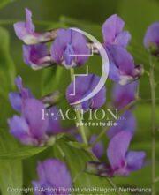 botanic stock photo Lathyrus