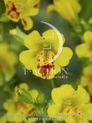 botanic stock photo Mimulus