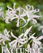 botanic stock photo Nerine