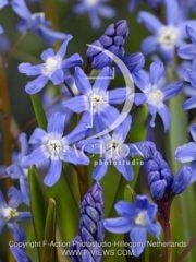 botanic stock photo Chionodoxa