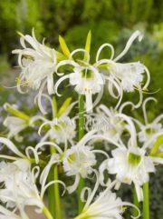 botanic stock photo Hymenocallis