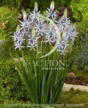 botanic stock photo Camassia