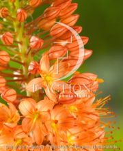 botanic stock photo Eremurus