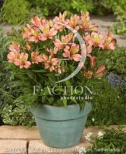 botanic stock photo Alstroemeria