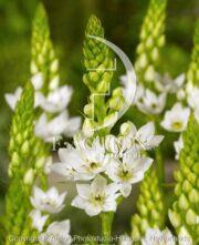 botanic stock photo Ornithogalum