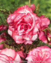 botanic stock photo Begonia