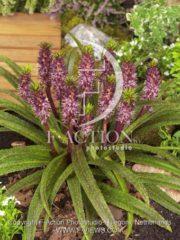 botanic stock photo Eucomis
