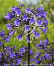 botanic stock photo Agapanthus