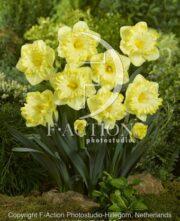 botanic stock photo Narcissus